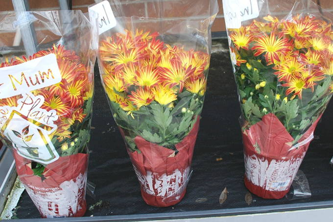 Holiday Hostess Gifts - Mums (3) | yesilovewalmart.com